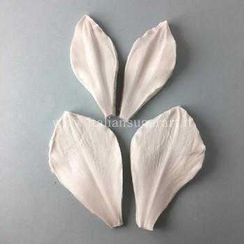 set amaryllis picotee