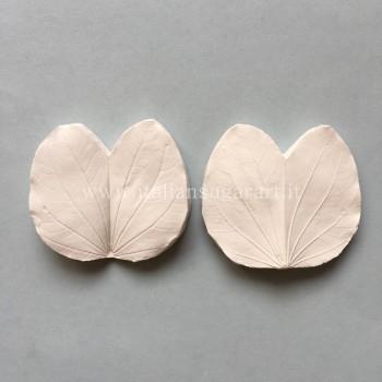 veiner leaf bauhinia