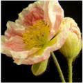 veiners per venature fiori  gumpaste papavero