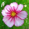 venatore del bellissimo fiore di cosmo