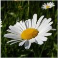 centrali di fiori mould margherita