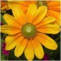 Venatore e stampo  silicone fiore della Rudbeckia