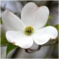 venatore fiore del dogwood