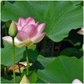 venatori fiore  loto torte di nozze gumpaste