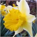 alco silicone fiore di narciso gumpaste o flower paste