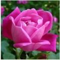 calco in silicone per fondente rosa gumpaste