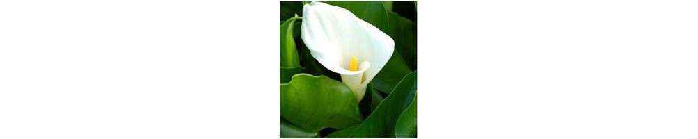 central veiner calla lily for wedding cake