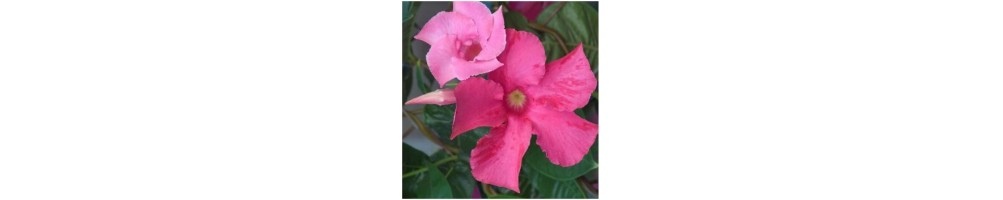 Mandevilla complete set veiners for flowers and leaves