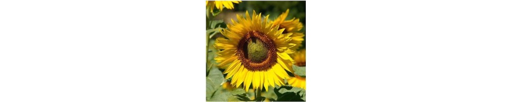 The sunflower is a really popular flower, has large leaves triangular