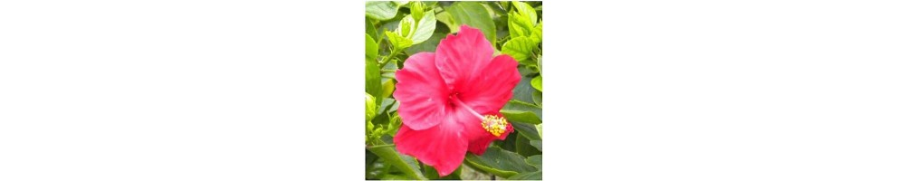 Hibiscus silicone veiners for realistic flowers in sugar paste