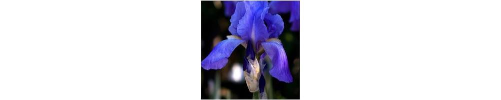 mold for Iris in sugar paste or flowerpaste