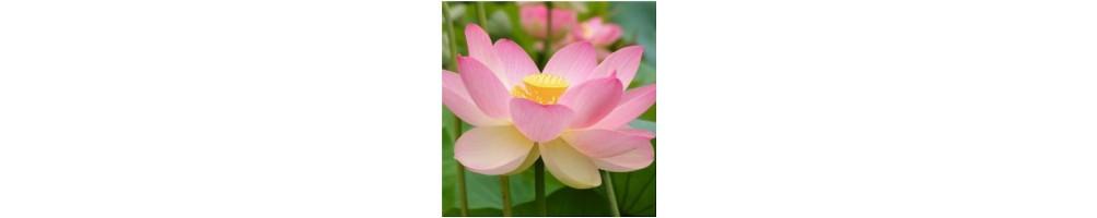 Venatori per fiori in pasta di zucchero loto e ninfea gumpaste flower