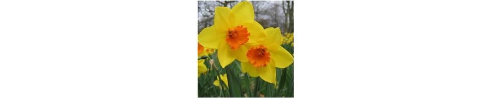 Veiner per fiori di Narciso da utilizzare con pasta di zucchero