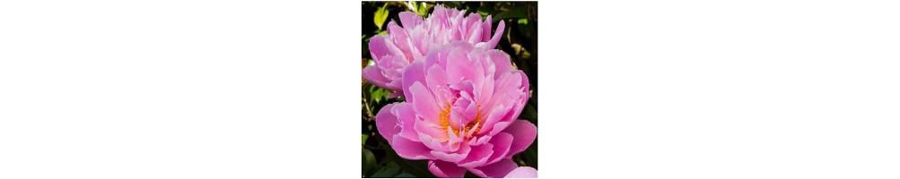 Vendita online di stampi in silicone 3d dei fiori in sugar art peonia
