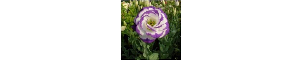 Mould in silicone per fiori lisianthus in gum paste o composizioni