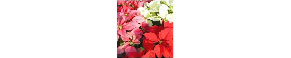 Poinsettia Set of Silicone Veiners  and Cutters, Christmas Star Moulds