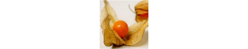 Winter cherry or Physalis