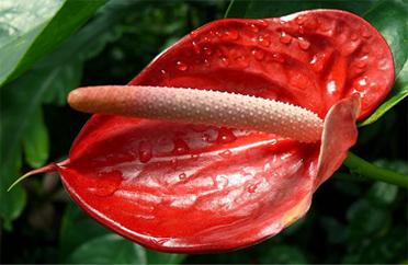 Venatore Fiore Anthurium Classico